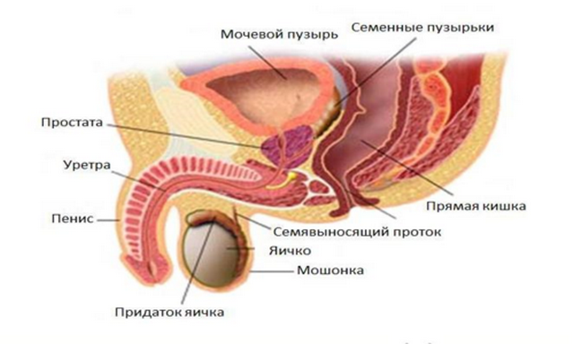 кровоснабжение простаты анатомия